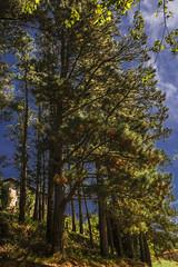 Preotoño (loreto Gs) Tags: pinos otoño nikon bizcaia