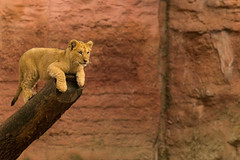 At the top (Mighty Badaboom) Tags: lion lwe animal tier sugetier mammal zoo hannover lionbaby groskatze