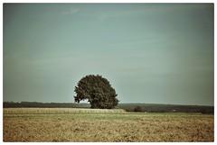 solitair (saffraanenviolet) Tags: nature tree boom rural zomer zen minimalism sky field summer