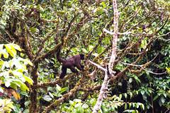 Singe laineux ..Woolly monkey ...Manu national park (geolis06) Tags: geolis06 prou peru per amriquedusud southamerica manu amazonie amazonia rainforest jungle fort forest madrededios biospherereserve parcnationaldeman mannationalpark 2016 patrimoinemondial unesco unescoworldheritage unescosite pantiacollatour nikon nikond7200 sigma sigma150600mmf563dgoshsmcontemporary primate monkey singe laineux woolly communwoollymonkey humboldtwoollymonkey lagotrichedehumboldt singelaineux woollymonkey lagothrixlagotricha