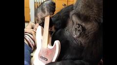 Koko2 (FolsomNatural) Tags: koko gorilla ukulele uke bassguitar flea