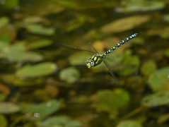 Southern Hawker (Mature Male) (ukstormchaser (A.k.a The Bug Whisperer)) Tags: southern hawker hawkers uk dragonfly dragonflies fly flies animal animals wildlife milton keynes flying flight hovering motion september sunlight