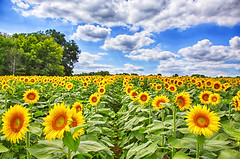 Grinter Farms 2016 (Kansas Poetry (Patrick)) Tags: sunflowers sunflower grinterfarms tonganoxie kansas patrickemerson patricklovesnancy