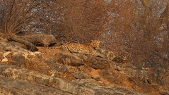 Leopard in sariska national park in India (abhishekprasad985) Tags: leopard wildlife dangerous animals carnivorous bigcats canon canon700d canoneos nature photography flickr