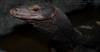 9/7/2016 BDVS1 Black Dragon Varanus Salvator (khomeini) (Tarantula Fan) Tags: black dragon water monitor lizard varanus salvator khomeini