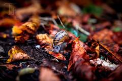 Luzifer on the Road (Thomas TRENZ) Tags: autumn herbst nikon thomastrenz d600 demon devil horns hrner iamnikon luzifer macro makro natur nature red rot schnecke snail teufel teuflisch