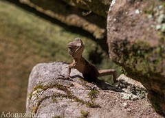 A Baby Eastern Water Dragon( Physignathus Lesueurii).. It's SPRING ! STRIKE A POSE (Adolfo Nazario) Tags: a baby eastern water dragon physignathus lesueurii its spring strike pose