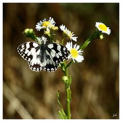 Demi-deuil ou Echiquier_Melanargia galathea (nicphor) Tags: nymphalidae papillon demideuil echiquier rhopalocres lpidoptres insectes flore faune nature campagne t prairie