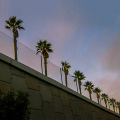 alpenglow at tree line (MyArtistSoul) Tags: oxnard ca palmtrees row line wall fence sky clouds sunset stark minimal urban square 1264 s100