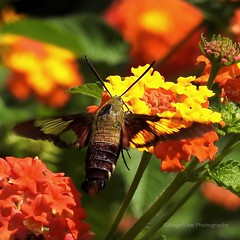 Hummingbird Moth on Lantana (AngelVibePhotography) Tags: outdoor nikon flower lantana blossom blossoms closeup butterflies flowers garden arthropods nature colorful photography butterfly animal macro insects orange insect nikonp900 northcarolina hummingbirdmoth