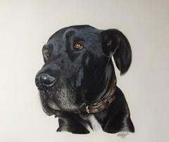 My pretty boy (da's art) Tags: greatdane petportrait animal dog luminance polychromos coloredpencils drawing artwork traditionalart