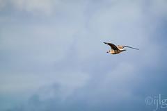 18092016DSC_1078.jpg (Ignacio Javier ( Nacho)) Tags: facebook gaviotas aves flickr pginafotografia faunayflora santander cantabria espaa es