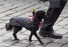 Dog parading (Tjook) Tags: gay people oslo norway rainbow glbt pride identity worldwide homosexual queer gender 2012 stolt colourfull kjnn dager skeive skeiv identitet paraden kjnnsidentitet kjnnsuttrykk kjnnsrolle