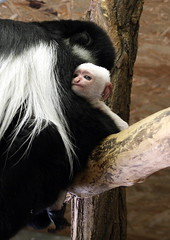Mrn ZOO Praha (jozefsebin) Tags: animal animals female zoo monkey prague prag praha colobus guereza opice youngly samice guerza mld pltikov