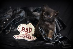 Bad 2 The Bone (kristi_Nikon_D1X) Tags: bear dog cute puppy studio pomeranian badtothebone