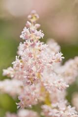 pink (Birgit F) Tags: pink flower macro norway norge herbs grimstad austagder dømmesmoen ibsensurtehave