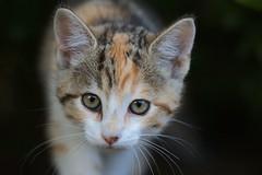Hello neighbors! (Rndaja) Tags: cat kitten katze kass ktzchen kassipoeg canonef100mmf28lmacroisusm