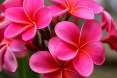 think pink (hawaiiansupaman) Tags: flowers hawaii maui pinkflowers