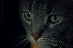 through a cat's eyes. (f r o z e n b u t t e r f l i e s) Tags: camera light shadow color detail macro green eye cat fur eyes nikon feline zoom gray kitty nikond50 whisker meow cateyes 55200