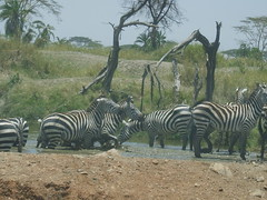 Zebras bathing in a river (Real Africa) Tags: africa wild tanzania kenya running safari zebra herd grazing safarianimal