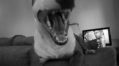 DSC00539 (1) (bigdeano26) Tags: english puppy bull terrier bully englishbullterrier dschx100v