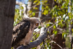 Great Horned Owlets 30 (LongInt57) Tags: family trees baby brown white tree green bird birds yellow forest grey babies great families gray raptor owl juvenile forests raptors owls greathornedowl horned owlet owlets juveniles