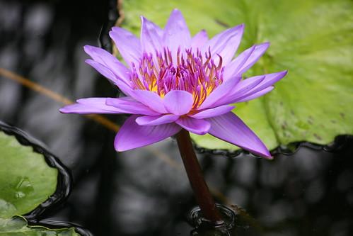 睡蓮 - Nymphaea