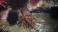 California Lobster (Ed Bierman) Tags: scuba diving marinelife anacapa divingtrips ncrd northerncaliforniarainbowdivers gaydiving californiamarinelife