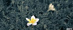 5 (indikaparane) Tags: flowers nature kit srilanka lense 18135 araliya canon600d