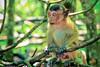 Baby Crab-eating Macaque In Mangrove Forest Phuket Thailand (Captain Kimo) Tags: texture thailand monkey phuket highdynamicrange crabeatingmacaque photomatixpro hdrphotography singleexposurehdr longtailmonkey captainkimo