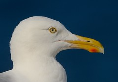 "The eyes ~ (Christine Fusco ~ ""Jersey Strong"") Tags: blue seagulls nature eyes gulls profile"