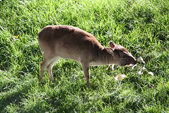 Blue Duiker (scara1984) Tags: zoo antwerp 10102010 scara1984