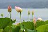 Lotus flowers (STE) Tags: flowers photography photo foto photographer lotus photos di fotografia fiori loto stefano fotografo trucco viverone nucifera nelumbium 70300vr zush stefanotrucco