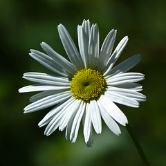 Lovin' the light (annkelliott) Tags: flowers white canada flower macro calgary nature closeup weed flora alberta daisy wildflower asteraceae nonnative edworthypark invasive leucanthemum introduced oxeyedaisy leucanthemumvulgare noxious lawreygardensarea