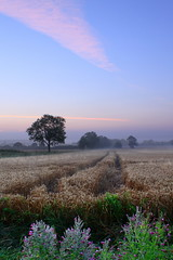 Misty Sunrise over a Wheat Field (Andy.Harper) Tags: pink trees cloud mist field misty sunrise ditch wheat great willowherb epilobium hirsutum