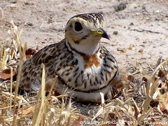 Three-banded Courser (Valry Schollaert) Tags: courser threebanded rhinoptiluscinctus courvite dheuglin