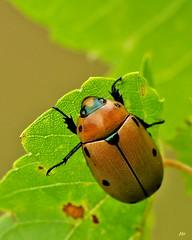 Scarabe ponctu de la vigne / Spotted Grape Beetle (alain.maire) Tags: canada nature insect quebec beetle qubec insecte coleoptera scarabe scarabeidae rutelinae pelidnotapunctata scarabeponctudelavigne spottedgrapebeetle oloptre