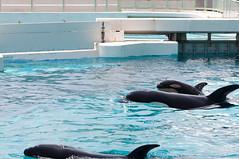 鴨川シーワールド シャチの赤ちゃん (GenJapan1986) Tags: 2012 千葉県 鴨川シーワールド 鴨川市 japan 日本 水族館 aquarium orca シャチ animal 旅行 travel chiba 動物 nikond90