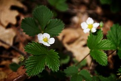 Wild Strawberry (Reptilian_Sandwich) Tags: wild brown white plant mountains newmexico flower green leaves yellow forest walking morninglight spring strawberry solitude hiking sunny solidarity organic blackrange eastrailroadcanyon