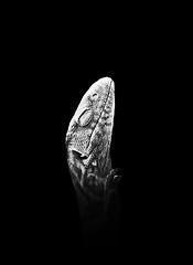 Reptilia (Gail Fletcher) Tags: bw white black dark 50mm nikon artistic lizard gecko d60 backround