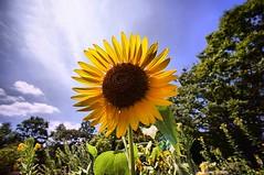 summer flower -  (turntable00000) Tags: park summer flower japan tokyo sony sunflower 365   nerima  nex  hikarigaoka 366    turntable00000