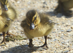 Duckling,. (John Mac Giolla Phdraig Leisen) Tags: pictures life new york wild usa fish news bird love nature birds john jack island fly dc long peace pics hawk conservation prey laurie fowl devlin foul hawks fitzpatrick migrating washinton sigel migrate a leisen mcnaulty whatsupcom httpwwwflickrcomphotosjackleisen jackleisengmailcom httpwwwyoutubecomjackleisen mcnolte