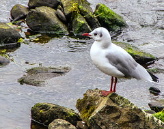 Mediterranean Gull (billdsym) Tags: birds scotland wildlife gulls annan
