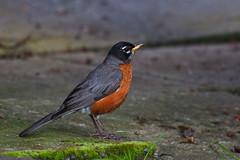 American robin, Vancouver Island (Zul Bhatia1) Tags: canada bird unitedkingdom wildlife vancouverisland zul sidney americanrobin bhatia zulbhatiacopyright