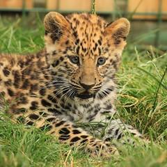 Amur Leopard Cub (TenPinPhil) Tags: portrait cute face cat cub wildlife headshot leopard bigcat 2012 amur amurleopard headcorn canon500d 100400l whf philipharris flickrbigcats tenpinphil