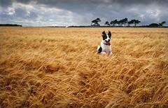 Tyson in the barley (Patricia Ronan) Tags: dog field barley