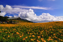 Sea of Lily Flowers (Vincent_Ting) Tags: sky taiwan daylily  formosa  sunrays  hualian    hemerocallisfulva      clousd