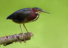 Green Heron with Duckweed Background (Windows to Nature) Tags: illinois nikon ngc greenie greenheron dupagecounty nikkor300mmf4 fullersburgwoods d7000 thewonderfulworldofbirds windowstonature nikkor14xtc