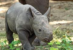 zwate neushoorn Akili geboren 6-8-2012 berlin zoo IMG_1914 (j.a.kok) Tags: rhino blackrhino neushoorn zwarteneushoorn puntlipneushoorn