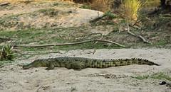 "Looking for ""croc's"". Found two. (Roelie Wilms) Tags: namibia kunene kuneneriver namibi elementsorganizer namibi2012 namibi2012"